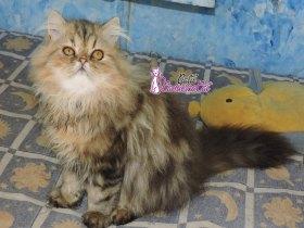 Gato Persa Alto Padrão