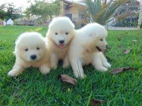 Filhotes de Samoieda (Cão)