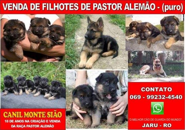 VENDA DE FILHOTES DE PASTOR ALEMÃO PURO