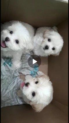 Filhote de Maltês - Cachorro/Cadela