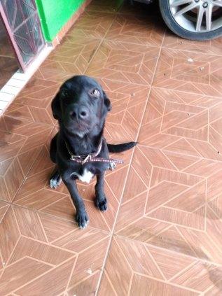 Doação de um Labrador