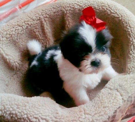 Filhote de cão da raça Shih Tzu FÊMEA